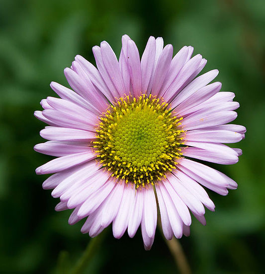 the aster, Natural flower