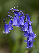 Names of spring flowers bluebell mightylinksfo