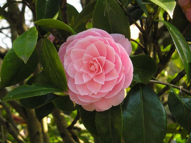 Camellia plants and flowers camellia varieties sinensis - Camelia planta ...