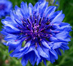 Names of spring flowers cornflower mightylinksfo