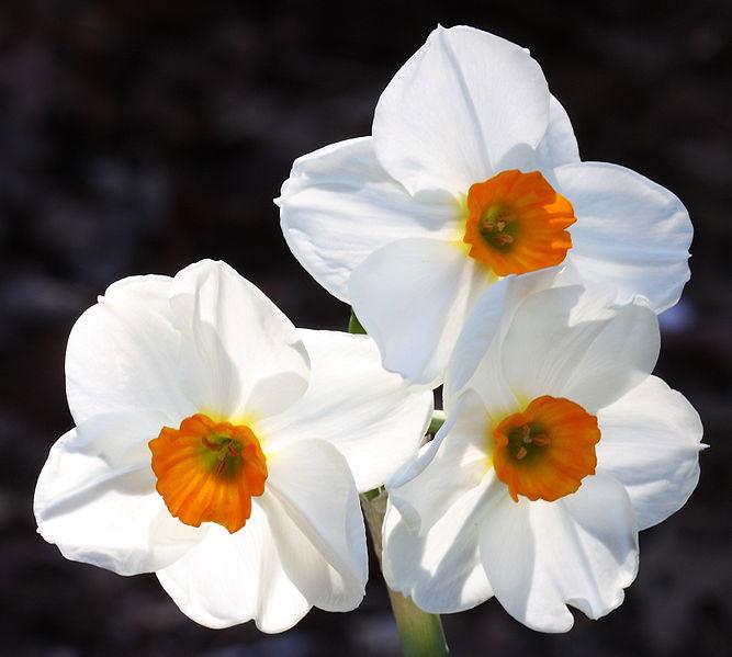 Daffodil flowers daffodils flower daffodils flower mightylinksfo