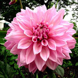 Dahlias Flower