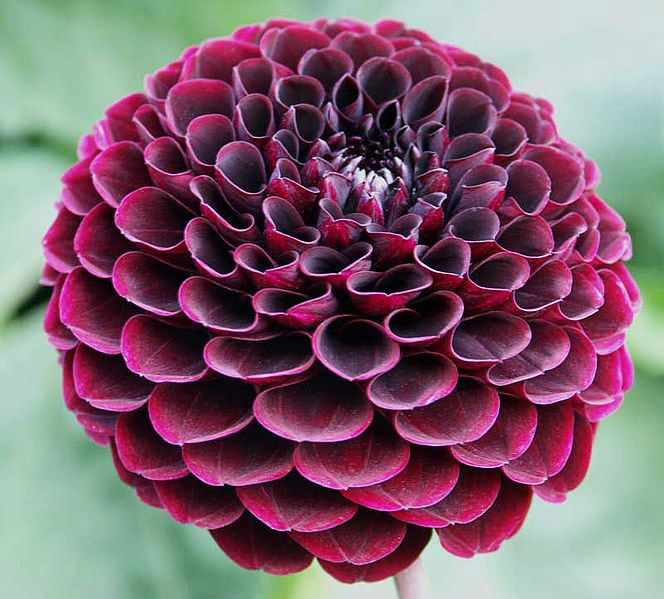 dahlias, Natural flower