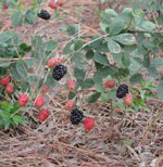 Dewberries