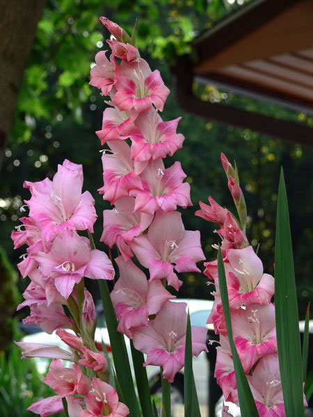 gladiolus flowers, Natural flower