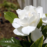 Glorious Gardenia Flower
