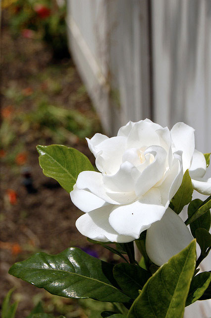 gardenia flowers, Natural flower