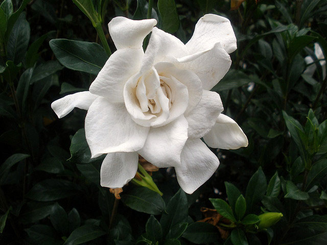 gardenia flowers, Beautiful flower