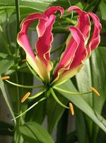 Glory Lilies