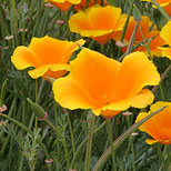 Californias state flower california state flower california state flower mightylinksfo