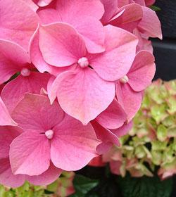hydrangea flowers, Beautiful flower