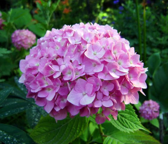 hydrangea flowers, Natural flower