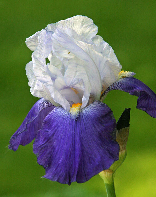 iris flowers, Beautiful flower