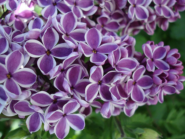 lilac flowers, Natural flower