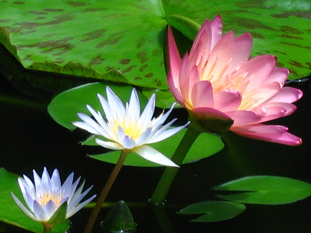 lotus flowers, Beautiful flower