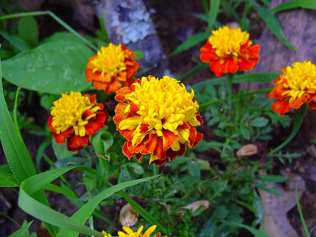 marigold flowers, Natural flower