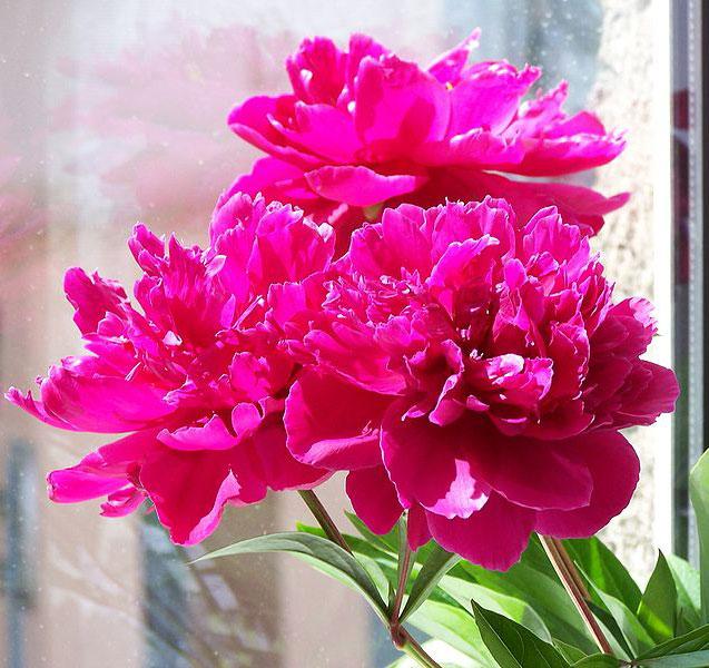 peonies, Natural flower