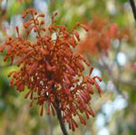 Scarlet Sterculia
