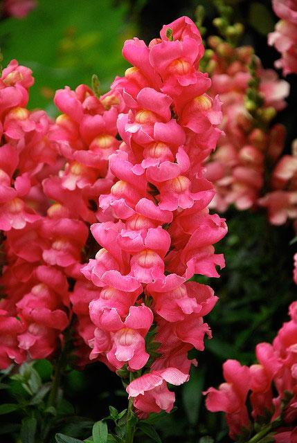 snapdragons, Natural flower