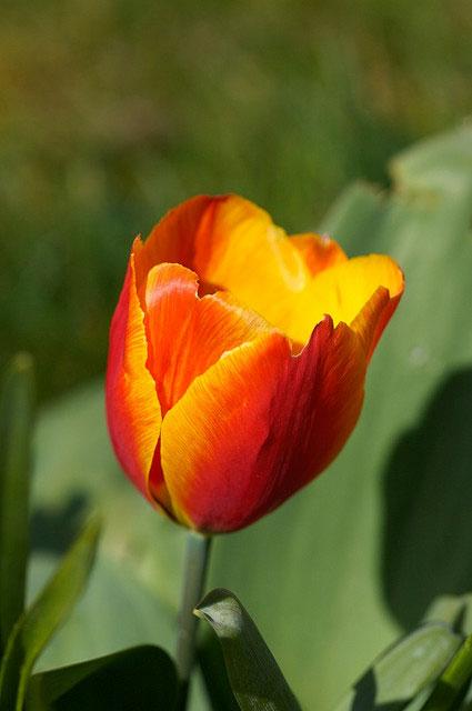 purple princess tulip tulips