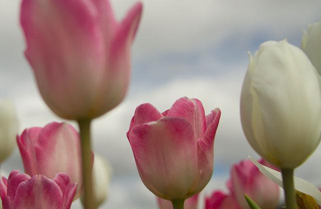 tulips, Beautiful flower
