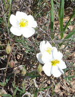 White Rock-Rose