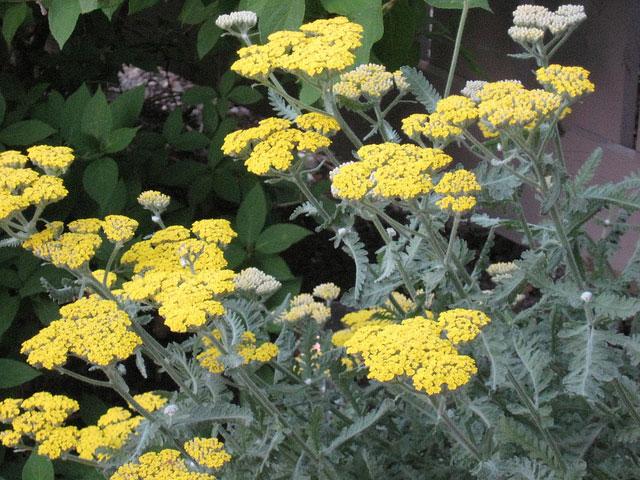 yarrow flower - photo #49