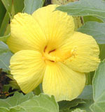 Hawaii State Flower