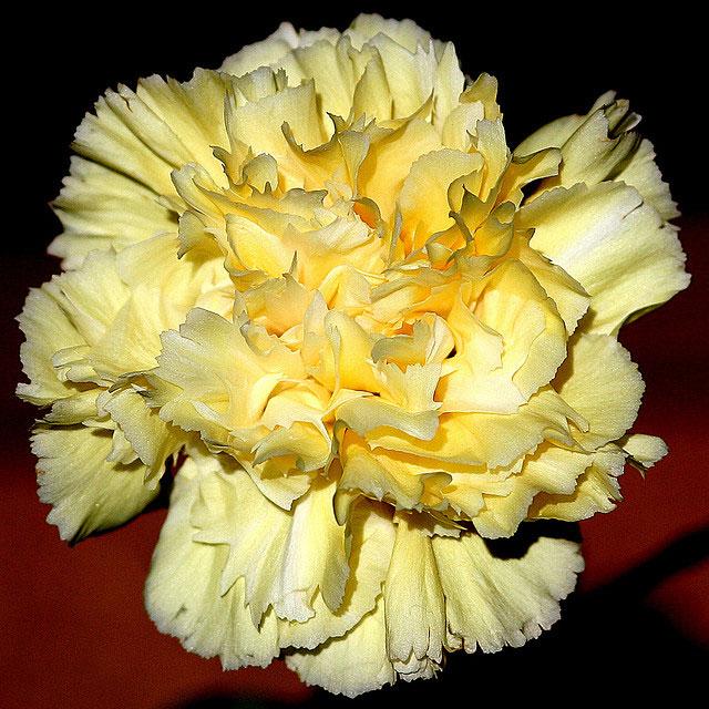 Carnation flowers carnations flower carnations flower mightylinksfo