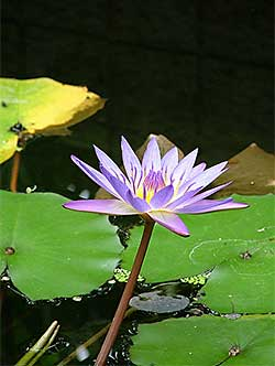 Lotus flowers the lotus flower has great spiritual significance in buddhism and hinduism though native to southeast asia it travels well and is a popular aquatic plant mightylinksfo